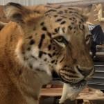 Sabertooth Tiger (Liger)