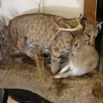 Bobcat and Jackalope