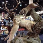 Elk and Mountain Lions