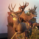 Mountain Lion and Mule Deer