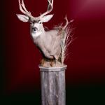 Mule Deer Pedestal