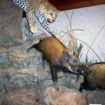 Leopard and Bushpigs